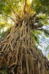 Curtain Fig Tree (Caleb McElrea) Tags: athertontableland farnorthqueensland wettropicsofqueensland worldheritagearea unesco queensland australia rainforest tropical hot biodiversity wildlife wildlifephotography curtainfigtree