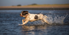 Puppa (Paul`s dog photography) Tags: springer spaniel beach water running splashing sandy west sussex