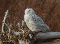 Another Snowstorm? (Mike Bader) Tags: raptor birds birdsofprey birdphotography avian avianphotography snowyowls owls httpwwwprojectsnowstormorg snowyowlirruption greatlakes lakeerie