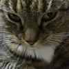 Regard (nathaliepasdenom) Tags: ténébreux tigre regard yeux animal cat chat