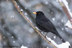 Blackbird (Matt Hazleton) Tags: blackbird turdusmerula bird wildlife nature animal outdoor canon100400mm canoneos7dmk2 canon eos 7dmk2 100400mm matthazleton matthazphoto northamptonshire snow winter