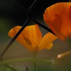 November flowers (gatierf) Tags: schlafmüzchen eschscholziacalifornica gegenlicht garten maschendrahtzaun