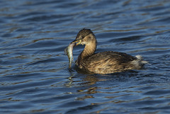 Little Grebe - Not bad for a little guy? (Ann and Chris) Tags: feathers feeding fishing fish bird avian lake duck rutlandwater wildlife wild nature