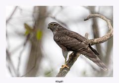 Epervier d' Europe (gilbert.calatayud) Tags: accipiternisus accipitridés accipitriformes epervierdeurope eurasiansparrowhawk bird oiseau laddo mazères ariège rapaces