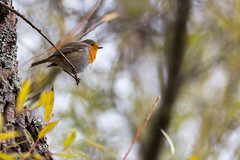 Sur une minuscule branche - On a tiny branch (bboozoo) Tags: nature animal wildlife canon6d tamron150600 rougegorge europeanrobin