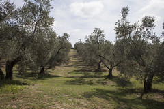 Europe, Viterbo, Italy - Olive groves in the Canino Area (FAO Forestry) Tags: canino italy europe impresa enea olives oil ipm integratedpestmanagement