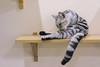DSC02865 (Wang Foto - 0969 92 97 91) Tags: cat cute pet photography animal cuties kitten kitty lovely tiny mycat babycat sonya7r carlzeiss scottishfold britishshorthair scottishcat catphoto cutecats wangfotovn