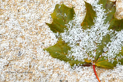 The Forecast Was Right (ilovecoffeeyesido) Tags: snow leaf firstsnow fallenleaf snowflakes flickrfriday gogreen