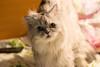 Внимательность (akk_rus) Tags: 200500mmf56gvr nikkor 200500mm nikon d800 nikond800 marcello persian cat cats pet pets chat chats animal animals nature feline gato кот коты кошка chinchilla