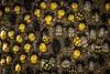 Bichos x montones... Explored (Yures) Tags: macro insects ladybug naturaleza bichos