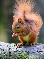 Red Squirrel, Yorkshire Dales (robin denton) Tags: redsquirrel wensleydale northyorkshire squirrel animal nature wildlife yorkshiredales yorkshiredalesnationalpark yorkshire fauna bokeh sciurusvulgaris nationalpark feeding mammal