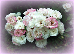 Last Roses of Summer (FernShade) Tags: vancouver britishcolumbia canada westcoast pacificnorthwest stanleypark lostlagoon miniatureroses autumn fall lastfallroses flower flora