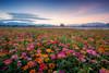 新社花海 (Cheng Yang, Chen) Tags: 新社花海 新社 台中 百日草 日出 landscape taichung flower taiwan sunrise wideangle 百日菊