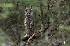 Grand-duc africain - Bubo africanus - Spotted Eagle-Owl (denisfaure973) Tags: gduc mps baringo oiseau rapace grandducafricain buboafricanus spottedeagleowl
