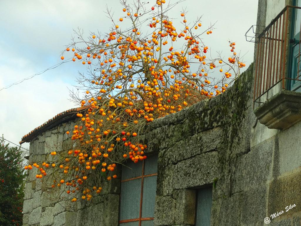 Águas Frias (Chaves) - ... o diospireiro visita a rua ...