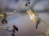 Goldie Hover (dangerousdavecarper) Tags: goldcrest bird hovering midair