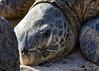 Basking (Matthew P Sharp) Tags: hawaii turtle seaturtle