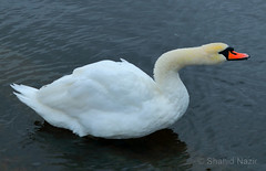 bird (nazirshahid65) Tags: outdoor nature london swan city europe canon750d efs1855mm