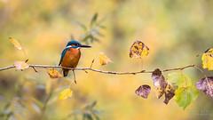 Joyau d'automne (Fabien Serres) Tags: alcedoatthis alcédinidés commonkingfisher coraciiformes martinpêcheurdeurope oiseau bird