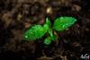_MG_5903 (aneeh photography) Tags: green sheets drops nature