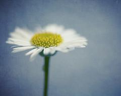 Alone (borealnz) Tags: daisy alone one single tiny macro flower macromondays stonerhymingzone