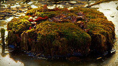 Decaying Stump in an Icy Swamp (Bob's Digital Eye) Tags: 2017 bobsdigitaleye canon canonefs55250mmf456isstm decay decomposing decomposition flicker flickr h2o ice moss mosses november organictexture swamp t3i water winter winterinmn