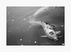 Surface Tension (bnishimoto) Tags: fuji fujifilm myfujifilm xpro2 hakonegardens saratoga bayarea photoessay 60mm koi fish blackandwhite bw monochrome spring