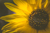 Summervibes (michel1276) Tags: blume flower macro summer makro sonnenblume sunflower konica macrohexanon vintagelens