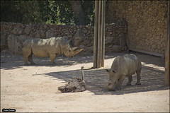 Rhinos in Jerusalem-Biblical-Zoo-IZE-664 (Zachi Evenor) Tags: zachievenor mathknight israel jerusalem jerusalembiblicalzoo biblicalzoo zoo animal animals 20170906 צחיאבנור אבירהמתמטיקה ישראל ירושלים גןהחיותהתנכי גןחיות ביבר בעליחיים חיות בעלחיים חיה קרנףרחבשפה קרנף רחבשפה קרנפים ceratotheriumsimum ceratotherium simum rhinoceros whiterhinoceros rhino