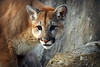 A Stare from Russet (MTSOfan) Tags: cougar russet epz stare predator bigcat mountainlion puma panther