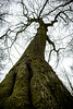 (The rest of the) Big ol tree (DonJesseTaylor) Tags: tree bark treetop branches sky nikon kitlens afp d5300 moss