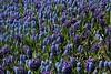 2017 Ottawa Tulip Festival 072 (Chrisser) Tags: flowers hyacinths hyacinthus grapehyacinths muscari asparagaceae tulipfestivals tulipfestival nature ottawa ontario canada canoneosrebelt6i canonefs1855mmf3556isstmlens travel
