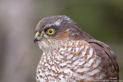 Epervier d' Europe (gilbert.calatayud) Tags: accipitridés accipitriformes epervierdeurope eurasiansparrowhawk bird oiseau busque tarn portrait profil