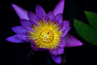 DSC_0058 Water Lily