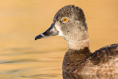 Ring-necked Duck (Matt F.) Tags: ringnecked duck bird ringneckedduck portrait