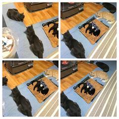 Last Winter... (sjrankin) Tags: 31october2016 japan hokkaido yubari kitchen mat floor heater yuba norio argent bonkers assam cat animal autogenerated montage 6december2017 december2016