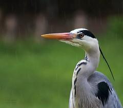 SHITWETTER/MISTY WEATHER (babsbaron) Tags: heron reiher fischreiher fish nature animals wildlife vogel vögel birds shit misty wetter weather rain raindrops