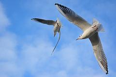 ... (Caulker) Tags: gulls flight sky aberford park november 2017