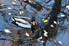 Passing Time (NaturalLight) Tags: mallard water reflections autumn leaves chisholmcreekpark wichita kansas