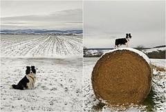 Euch allen einen schönen 2. Adventssonntag! (Uli He - Fotofee) Tags: ulrike ulrikehe uli ulihe ulrikehergert hergert nikon nikond90 fotofee sheltie shetlandsheepdog sheepdog hütehund schnee eis winter dezember feld plätzer burghaun