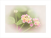 Wild Pink ~ (FLGalleria) Tags: canon flower pastel pink soft wildflowers macro nature sunlight bokeh stilllife magicunicornverybest