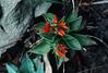 Dudleya pulverulenta - Crassulaceae (Kerry D Woods) Tags: dudleya pulverulenta crassulaceae