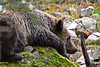 Napping on a Rock (Spectacle Photography) Tags: grizzly grizzlybear britishcolumbia ban banbearhunt ilovebc wildlife wild banthetrophyhunt spectaclephotography