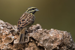 Cirl Bunting (Simon Stobart) Tags: cirl bunting emberiza cirlus perched rock spain coth5 ngc naturethroughthelens npc
