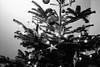 Father Christmas on the tree (tercrossman87) Tags: canon 7 voigtlander 35mm 17 ultron kodak trix 400 1600 push ilford ilfotec lc29 119 home development film plustek 8200i