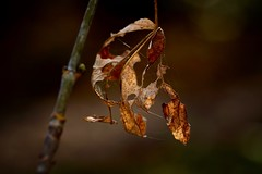The Last Sunlight Of Fall? (wowafo) Tags: nature natur blatt leaf makromacro sublight sonnenstrahlen sun herbst aurumn fall flickrfriday letthesunshinein