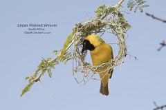 Lesser Masked_Weaver_WEB_2U6A7230 (beeton_bear) Tags: weaver bird ave aves nature wild wildlife lessermaskedweaver southafrica beetonbear claudelecours canon