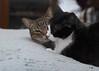 I love the glint in Cousin's eye. (rootcrop54) Tags: cousin tabby male cat tina tuxedo masked female mask chenille pillow buddies friends neko macska kedi 猫 kočka kissa γάτα köttur kucing gatto 고양이 kaķis katė katt katze katzen kot кошка mačka gatos maček kitteh chat ネコ