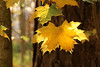 Acer's Gold (gripspix (OFF)) Tags: 20171021 autumn herbst fall autumnleaves herstblätter acer ahorn