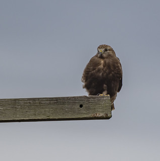 Rough-legged Hawk  Buteo lagopus